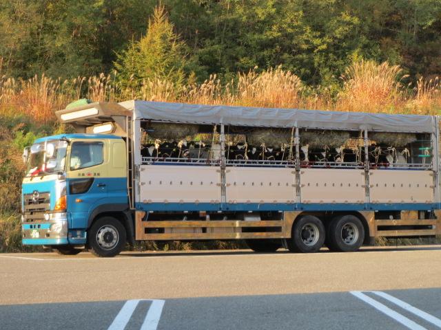 北・トイレ休憩子牛とトラック.JPG