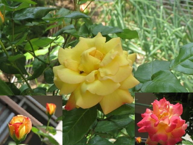 薔薇・3.JPG