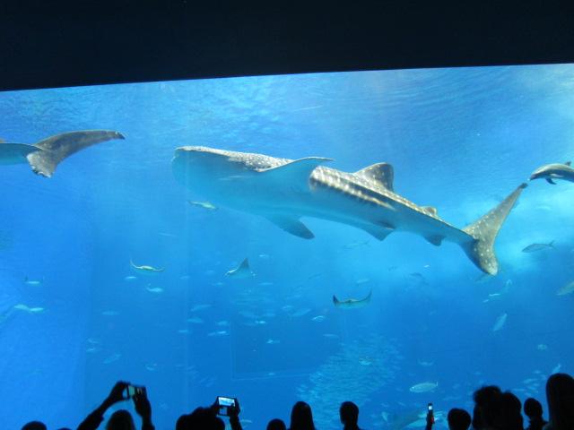 2・水族館ジンベイザメ2.JPG