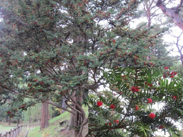 2・香雪園一位の木.JPG